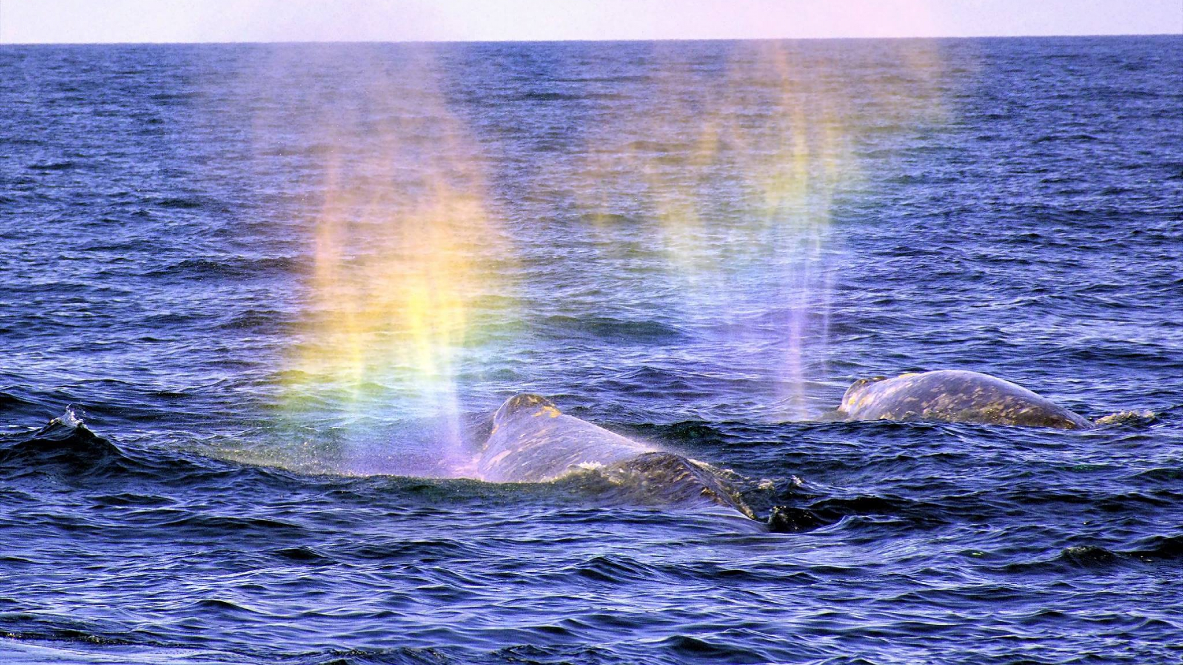 Two gray whales spouting with a rainbow in the mist off the shore of Channel Islands National Park
