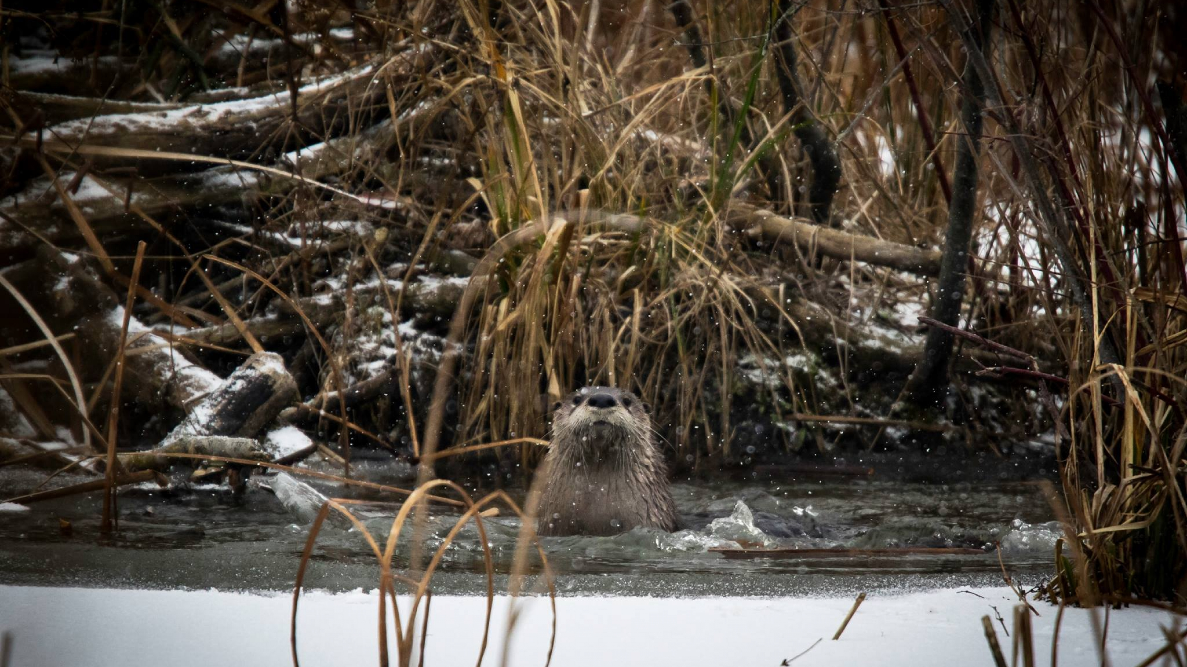 Otter in a river in winter