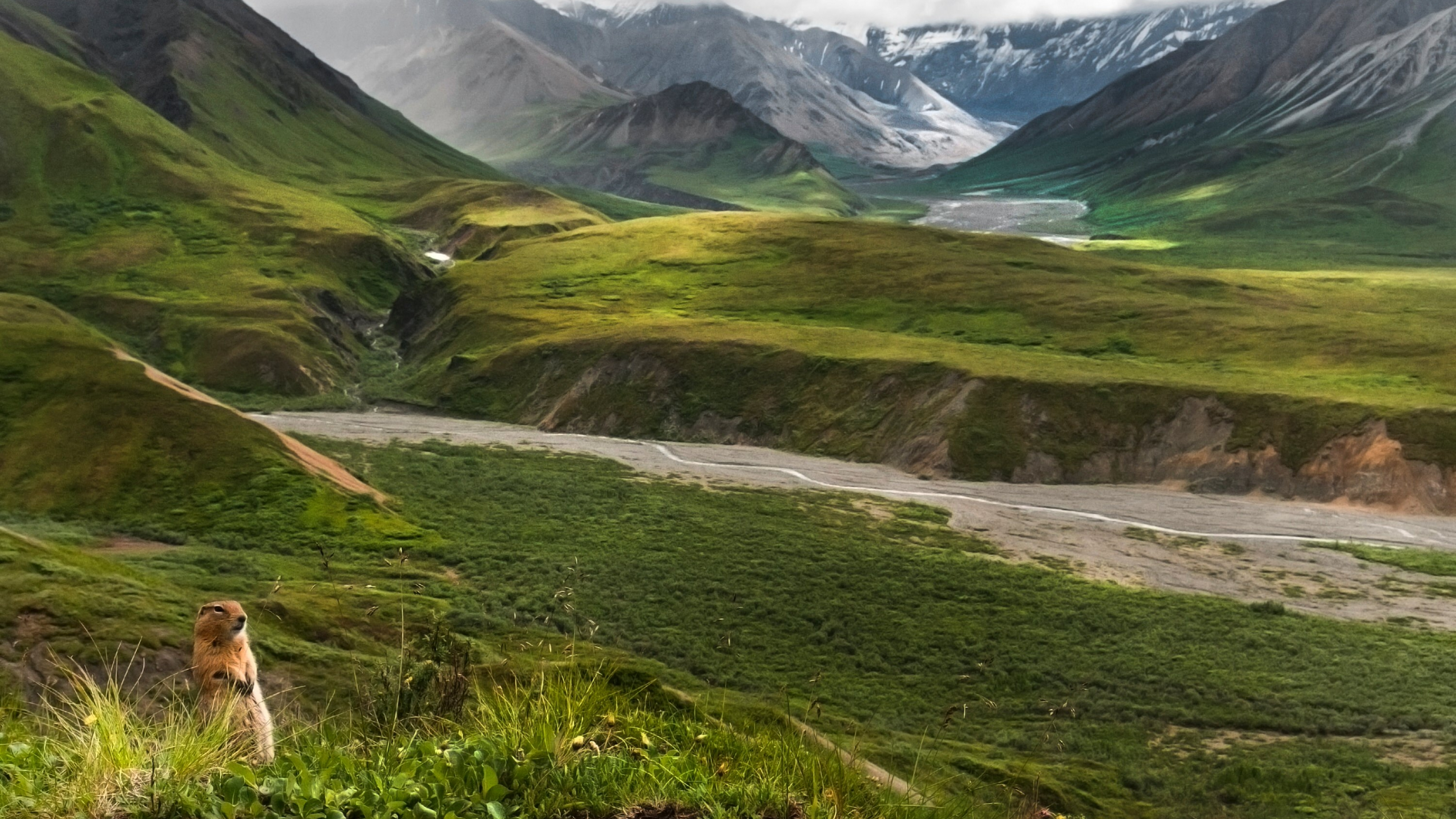 An arctic ground squirrel on its hind legs in the grass with the expansive green valley and rocky and snowy mountains at Denali National Park and Preserve