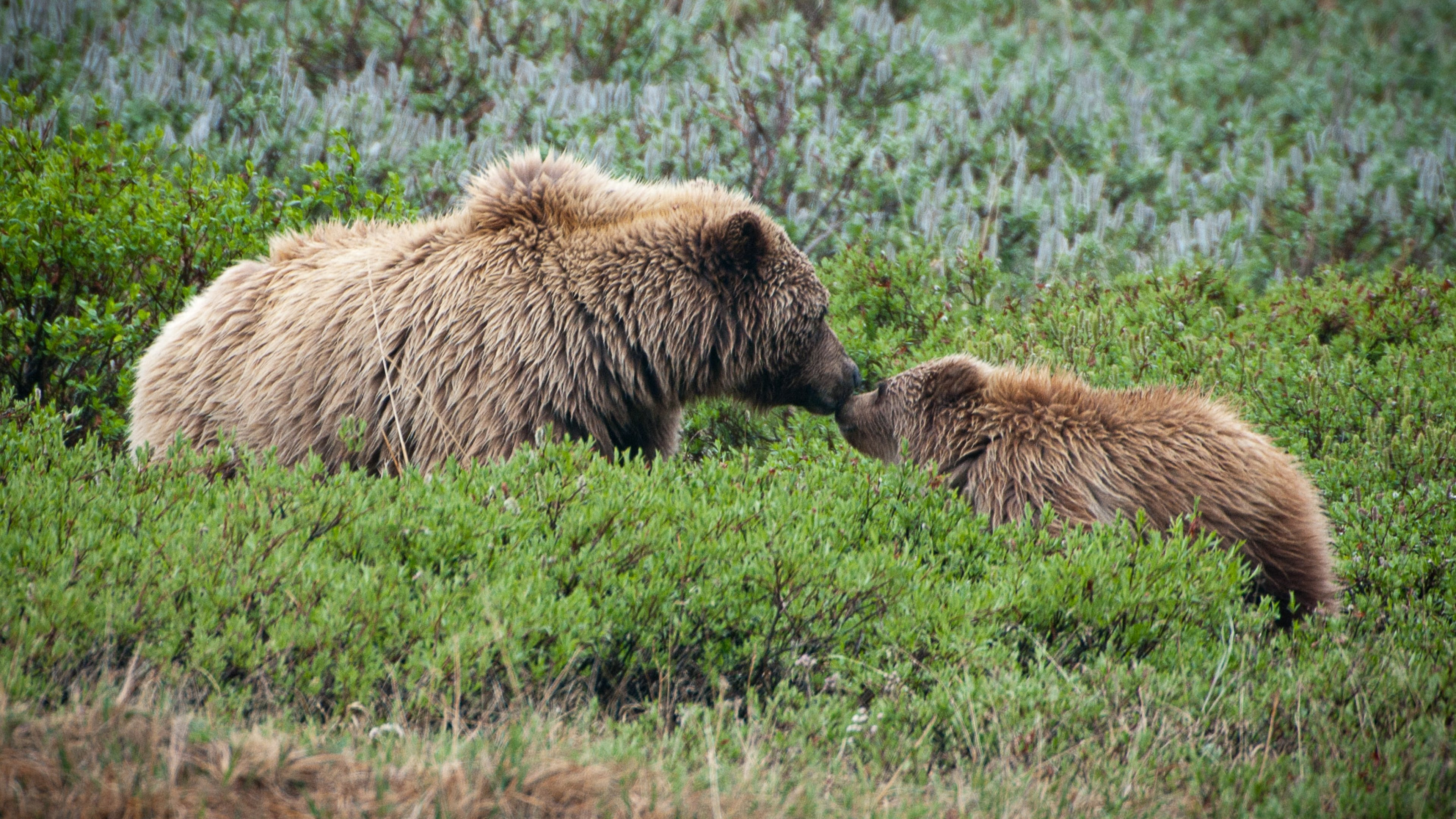 A sow and cub touch noses in a green field