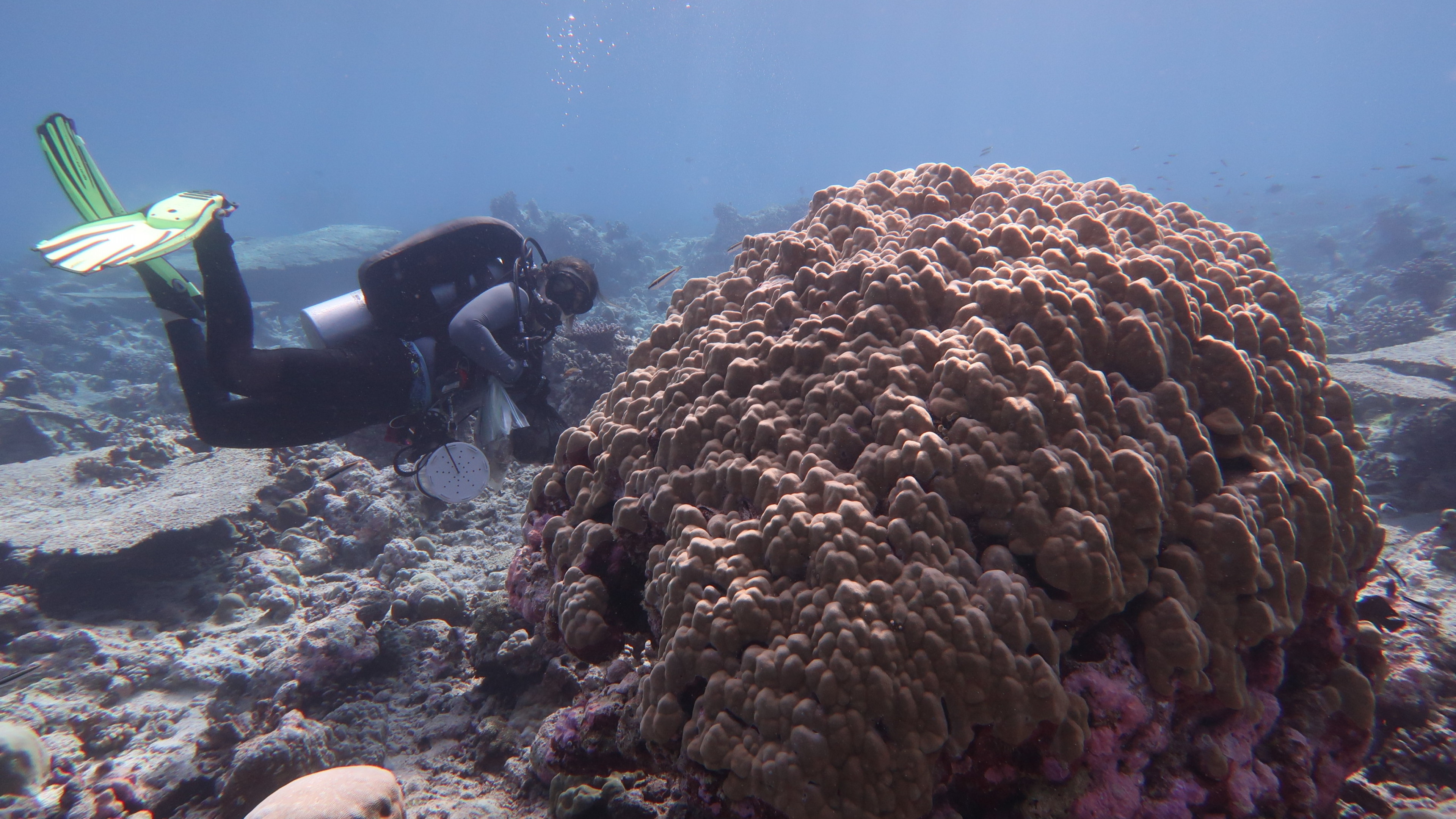 Underwater, a person in scuba gear examines large, round coral