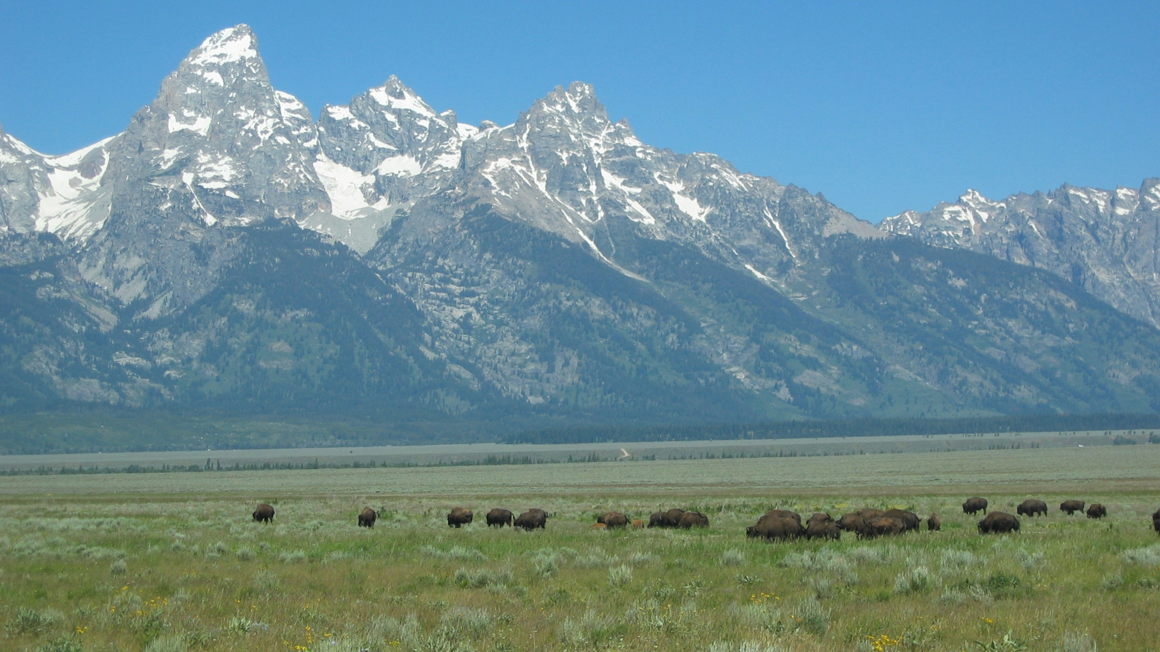 Bison on Antelope Flats with Teton Range