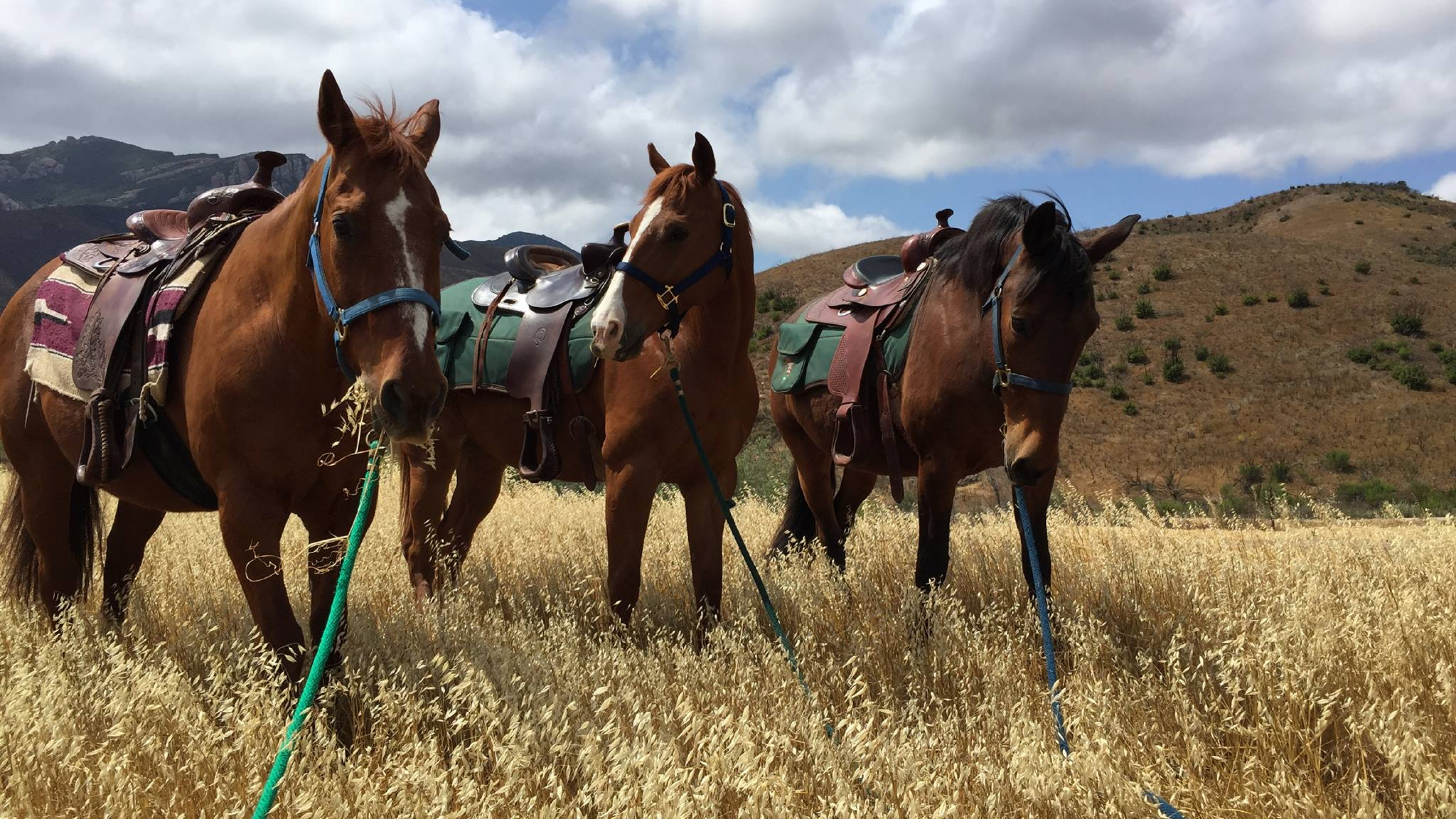 Three saddled brown horses standing in a golden field of grass at the Santa Monica Mountains National Recreation Area