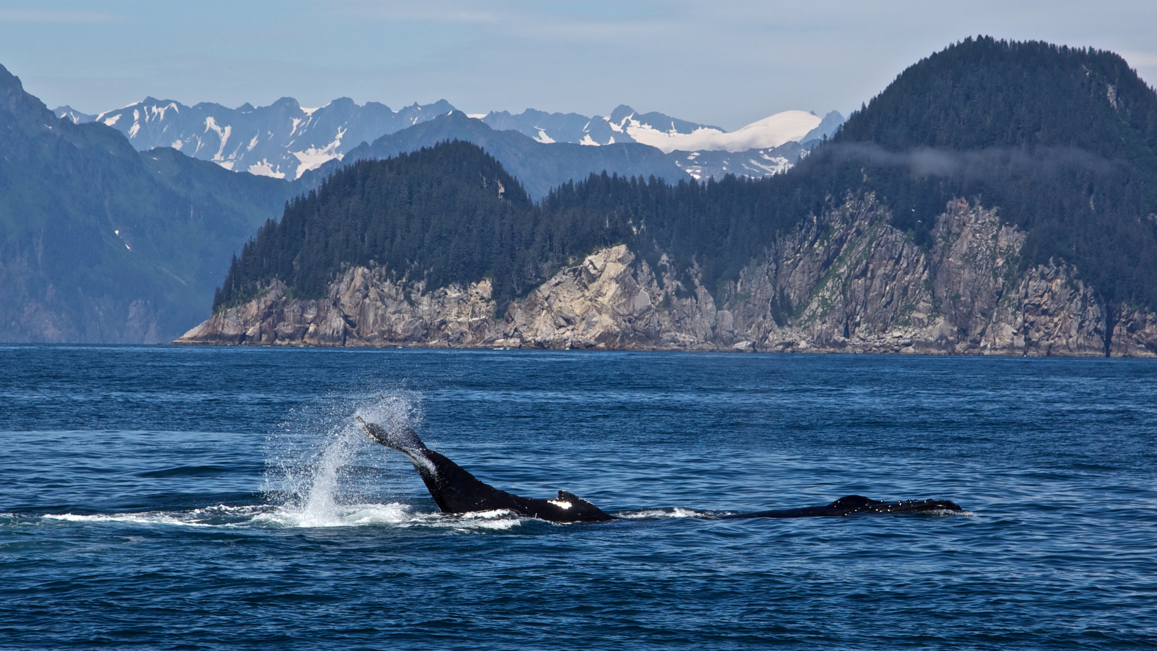 Humpback whale with a fin out of the water at Kenai Fjords National Park