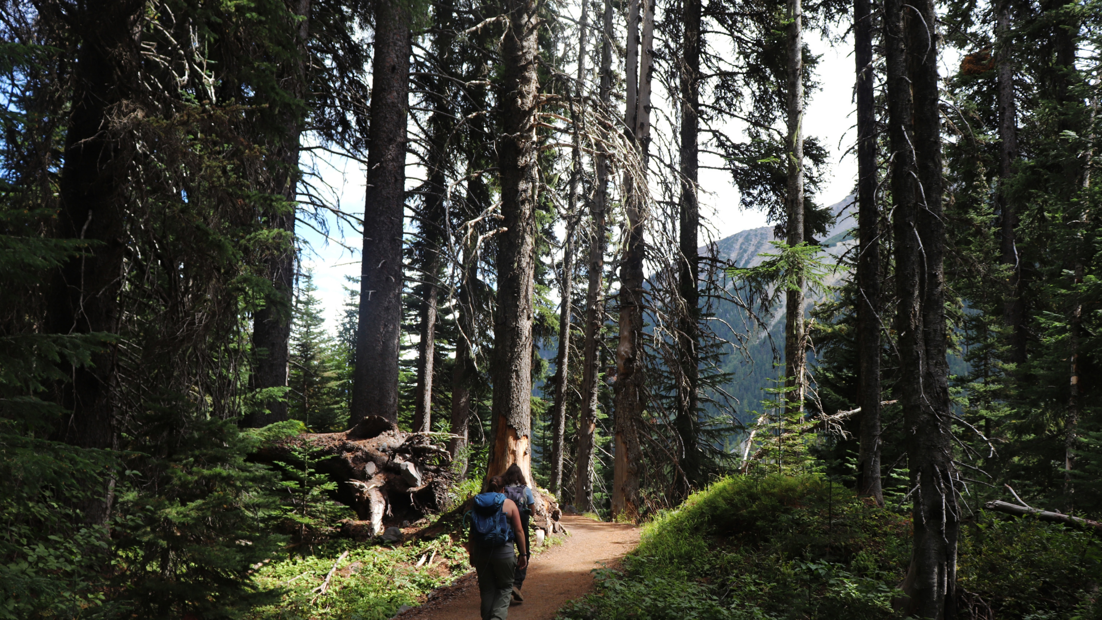 Two hikers walk along a dirt path surrounded by an old-growth forest.