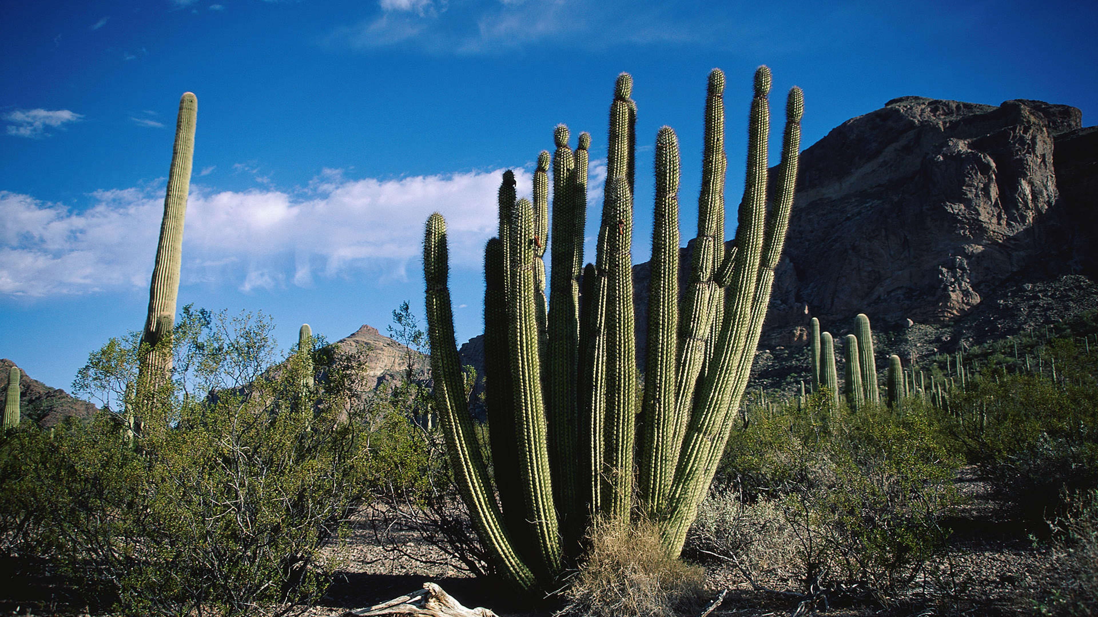 Image of Organ Pipe Cactus and Flowered Mountainside