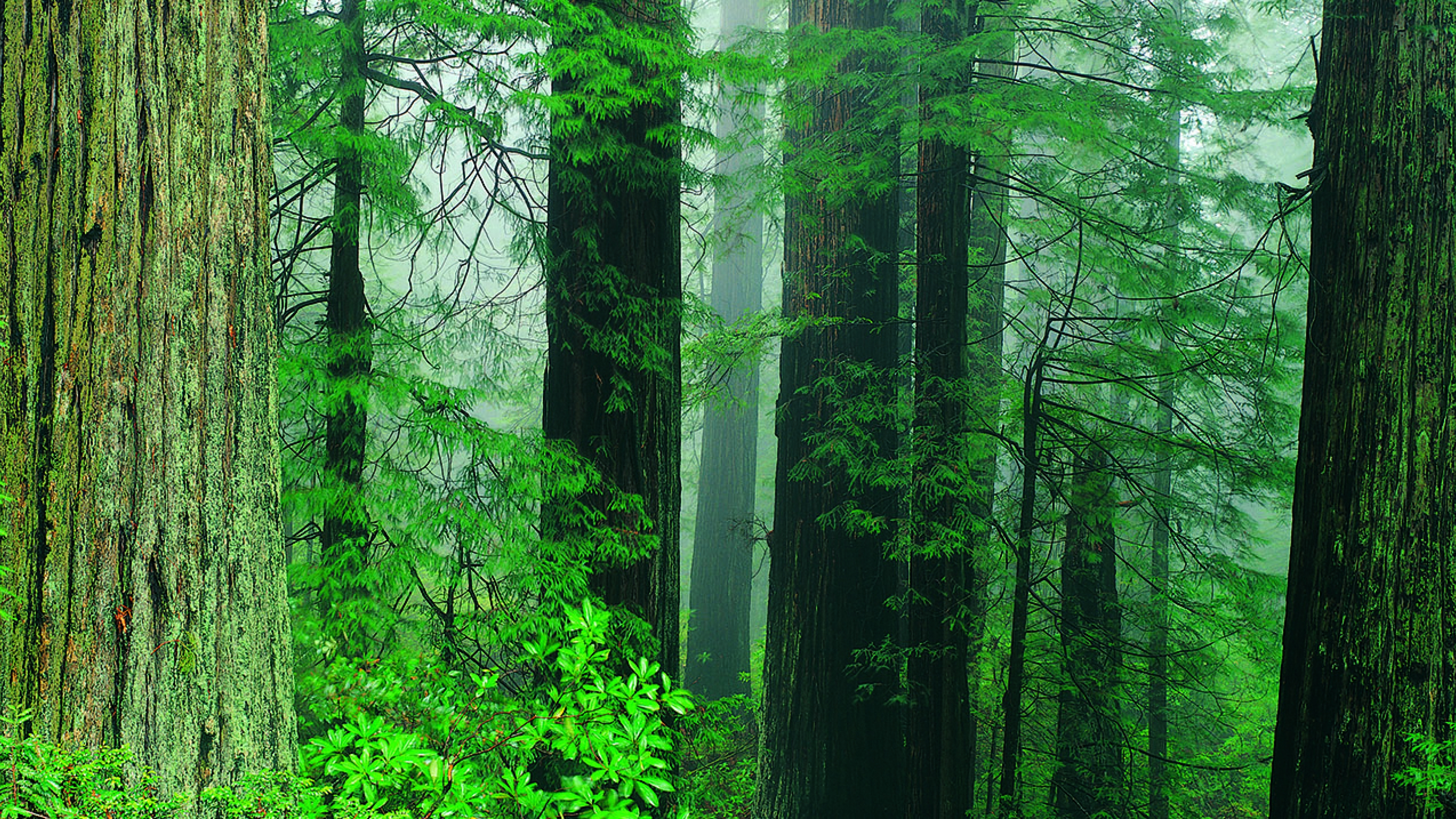 misty redwood trees