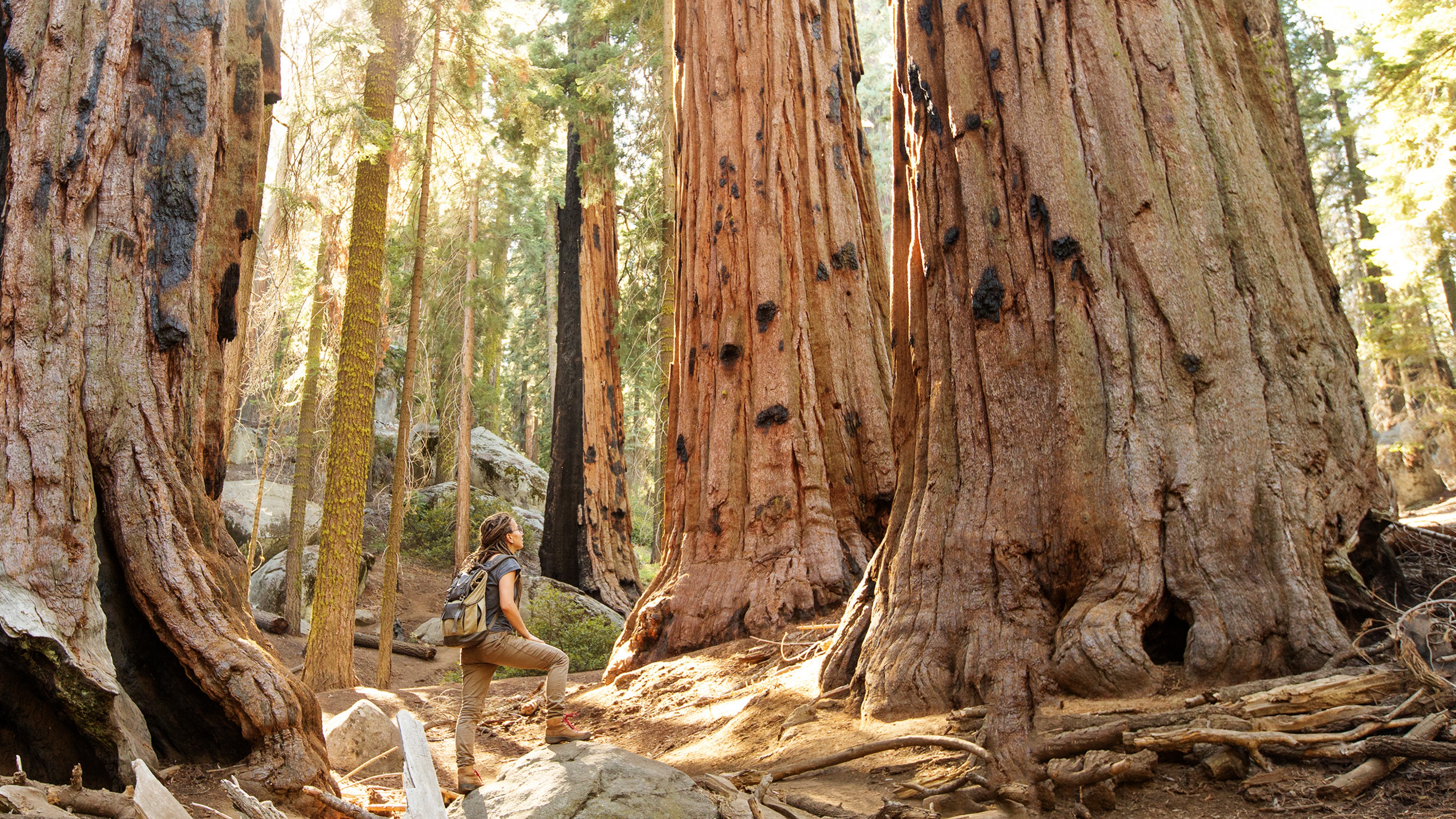 A hiker looks up at giant sequoia trees as light filters through the green and brown branches