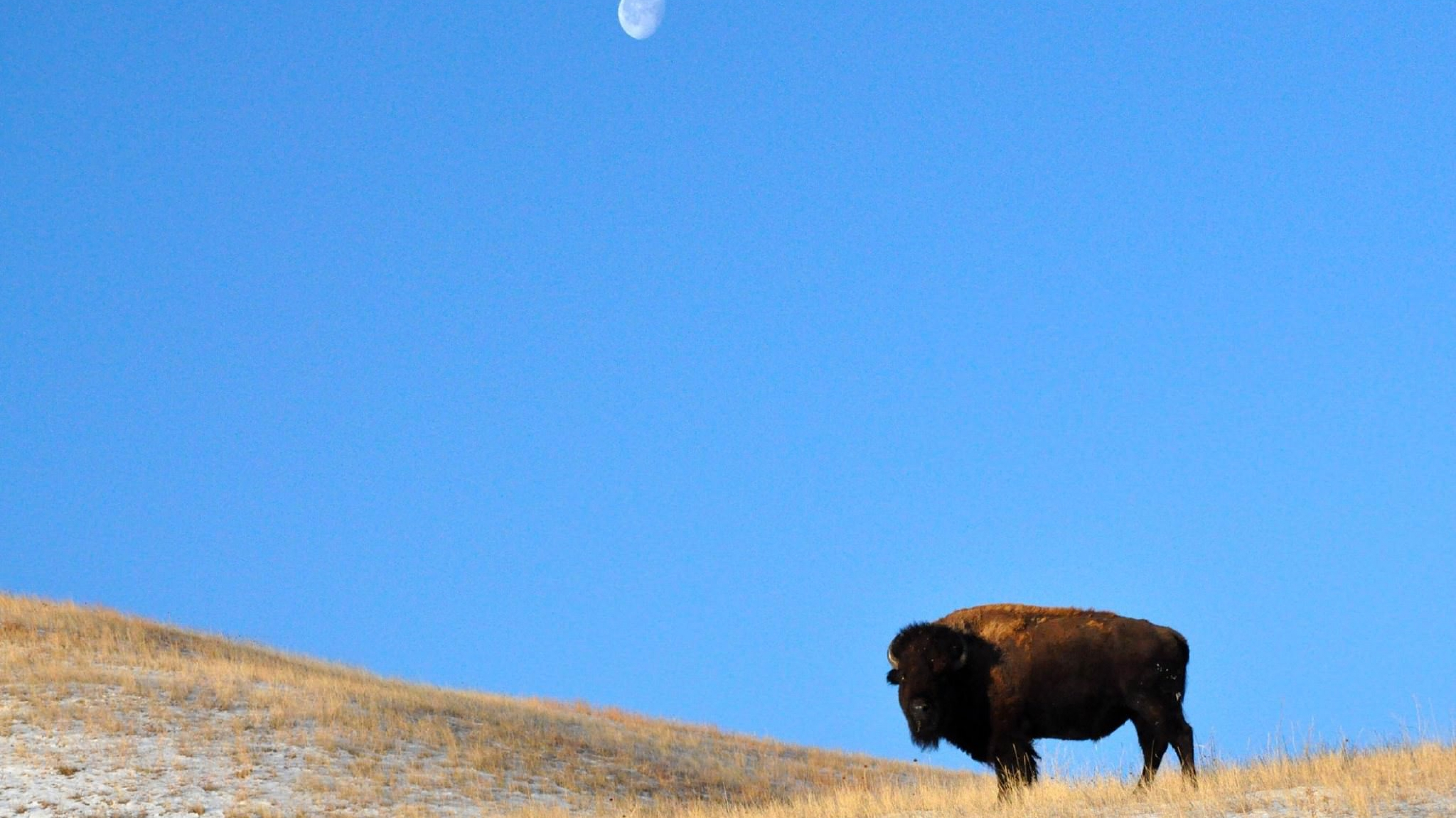 A waining Gibbous moon setting behind a bison standing on a yellow grassland at Wind Cave National Monument