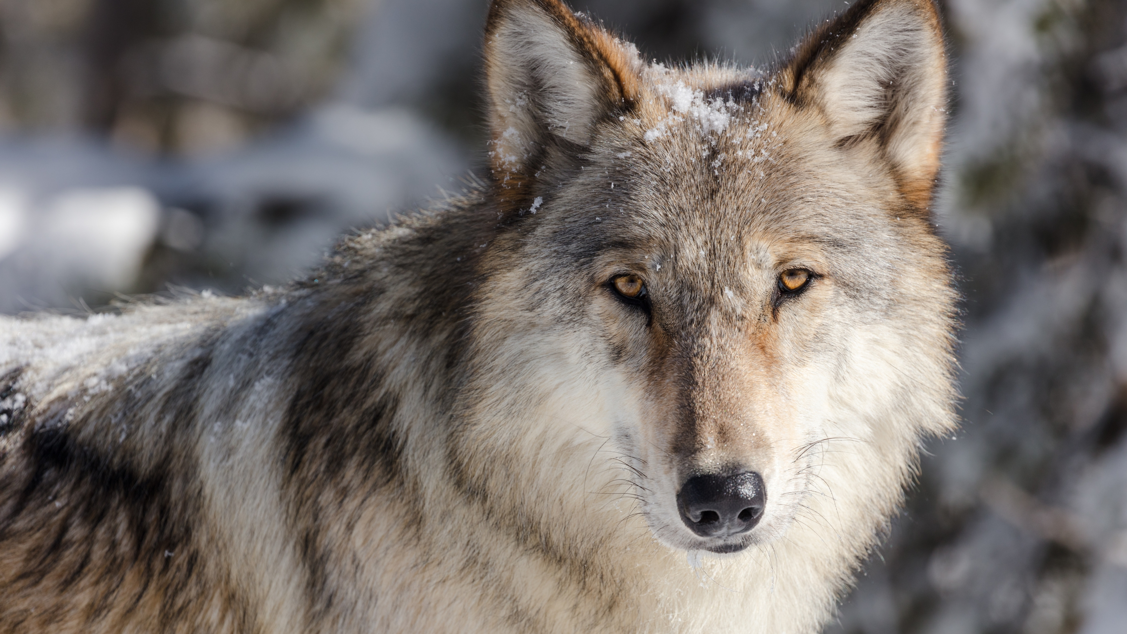 Close up of gray wolf at Yellowstone National Park