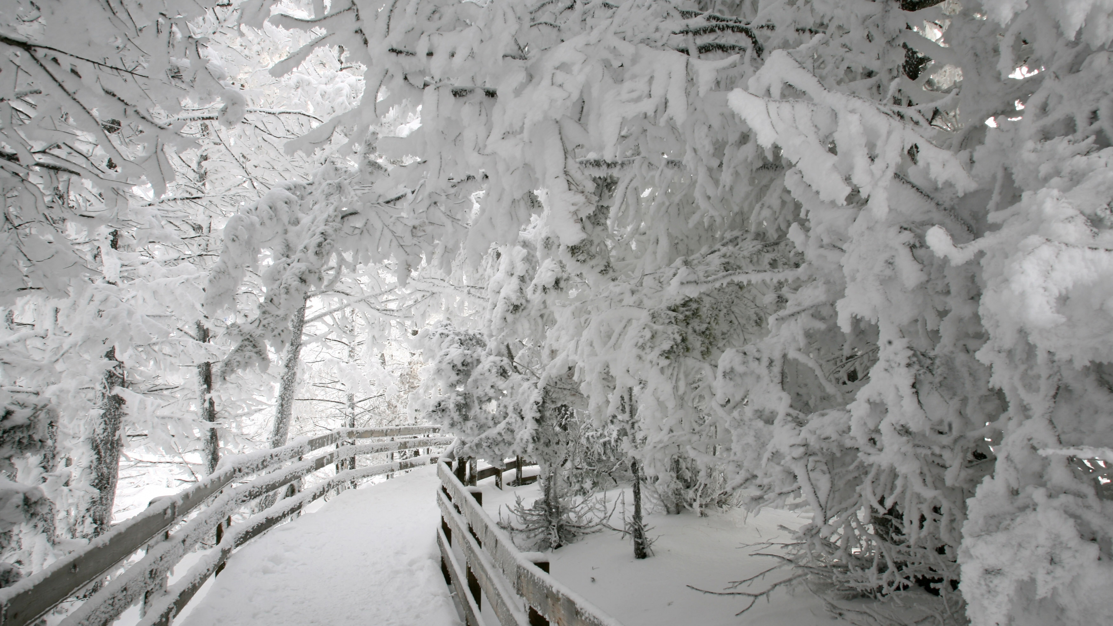 A snow covered boardwalk curves out of sight underneath heavily frosted trees