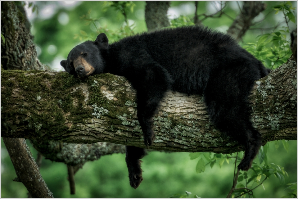 A bear sleeps in the trees in the Smokies