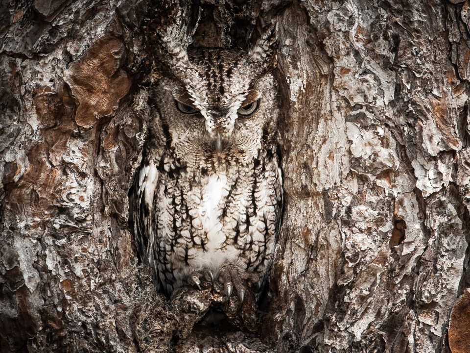 An owl hiding in a tree