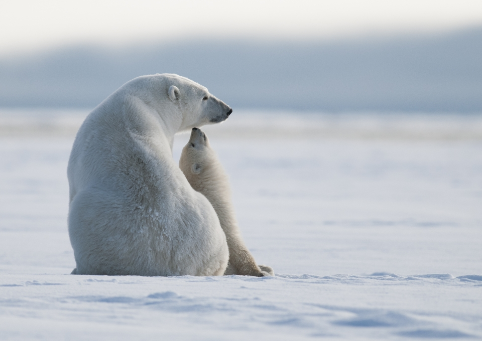 A polar bear sits in the wild