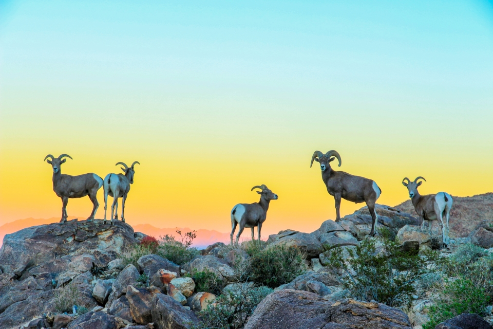 Second place winner, photo of big horn sheep at Joshua Tree National Park