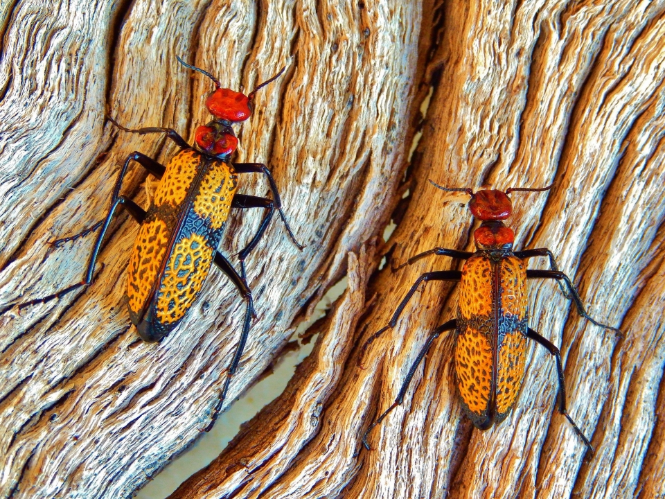 Wildlife Winning image of red and yellow beetles on bark at Saguaro National Park
