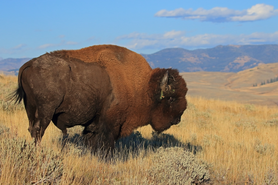 Fan Favorite Winning image of Bison in Yellowstone National Park