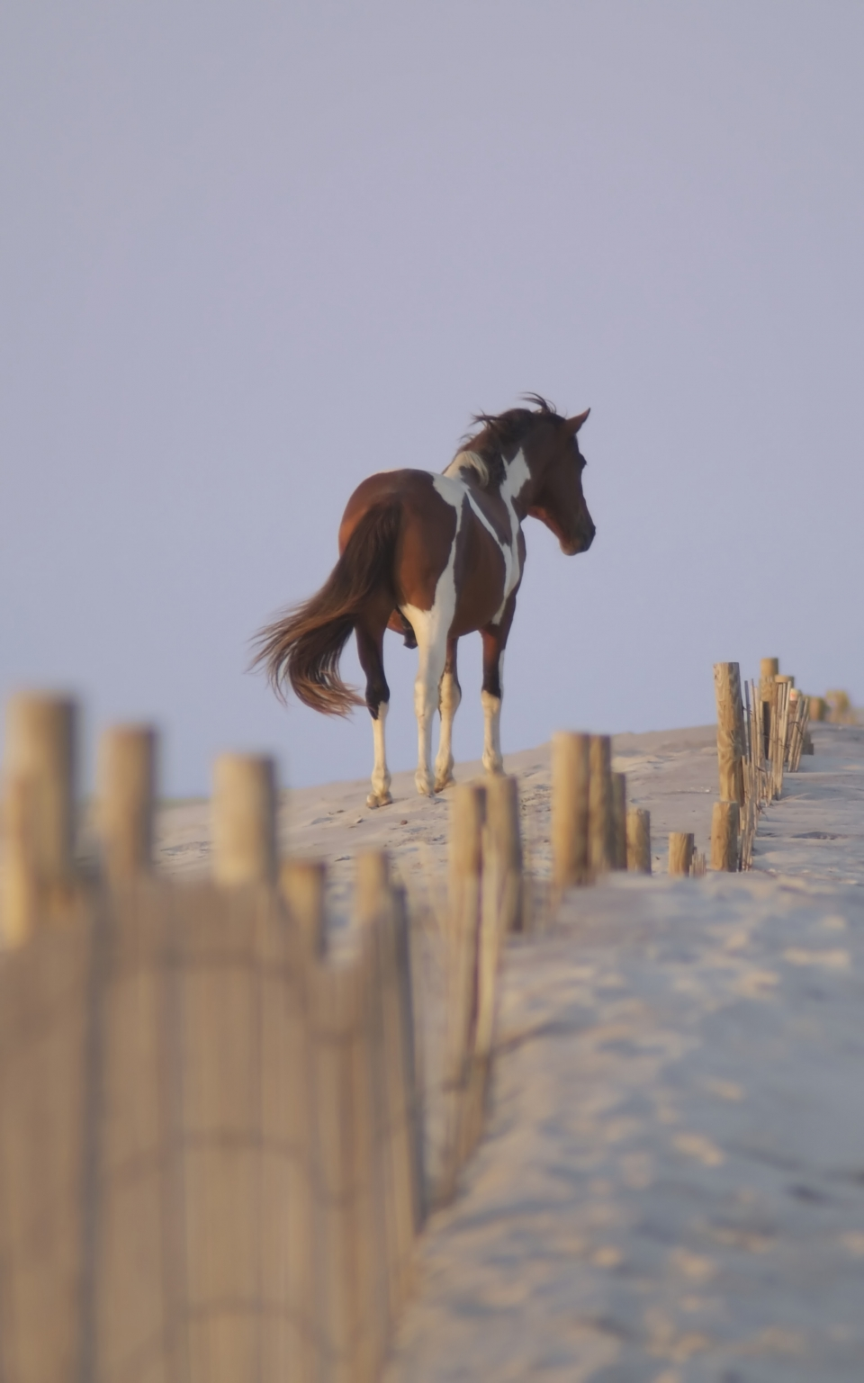 Horse next to a short fence on the white sands of Assateague Island