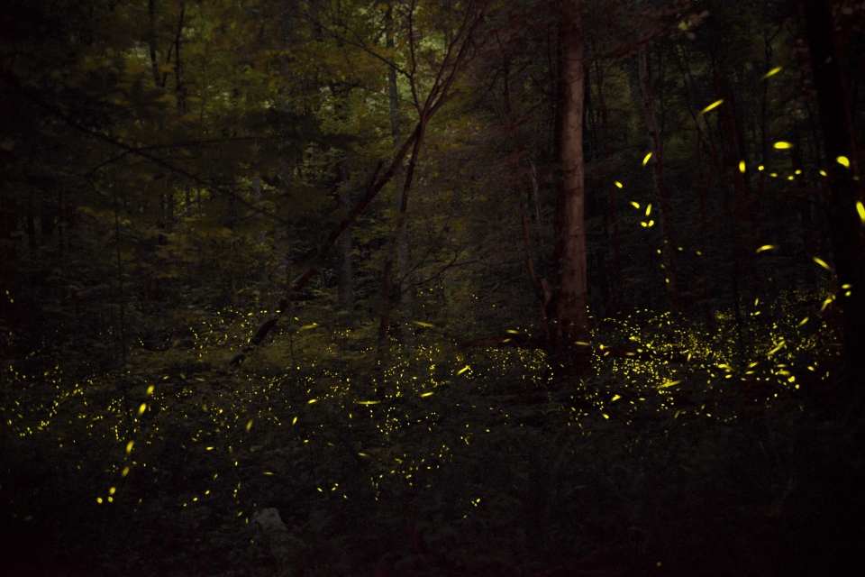 Fireflies at night in the forest