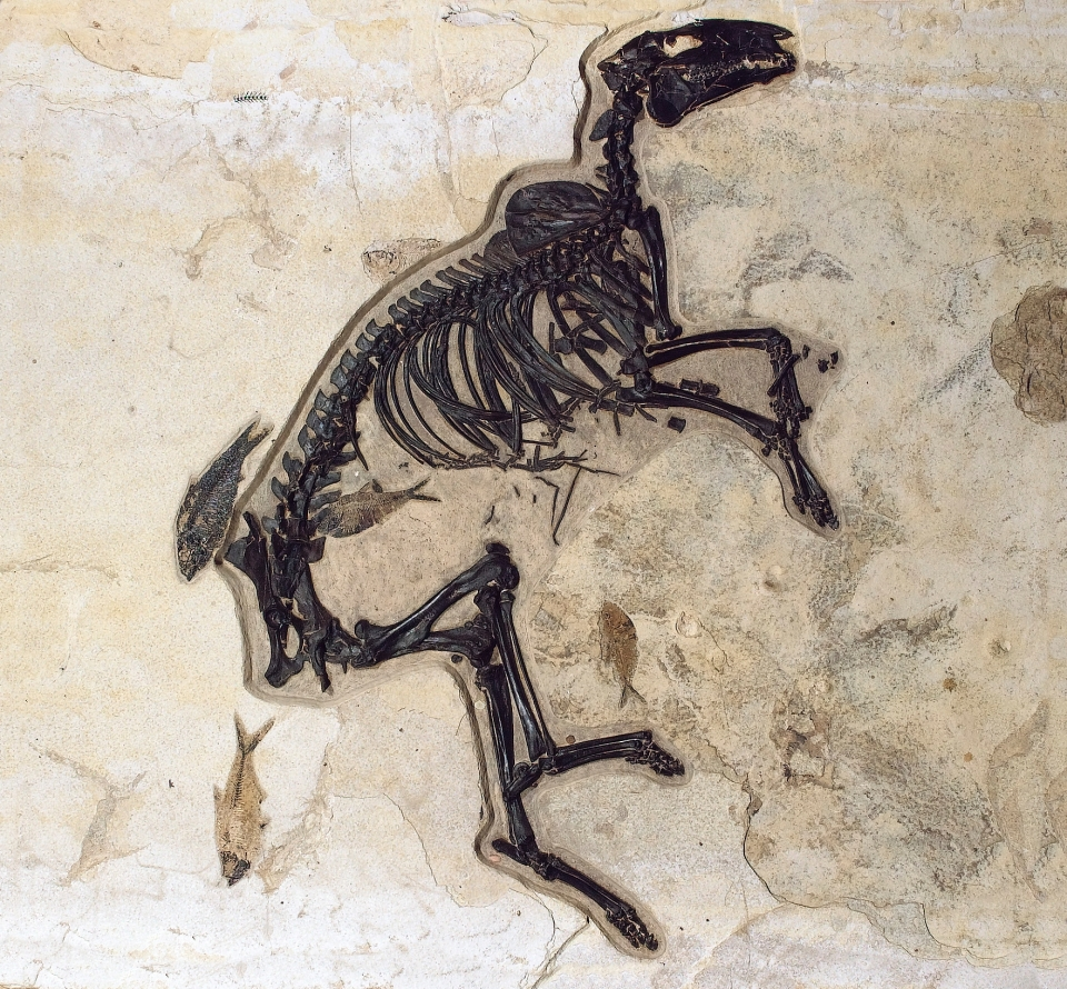 Fairly complete fossil of dog-sized horse (Protorohippus sp.) found in the Green River Formation