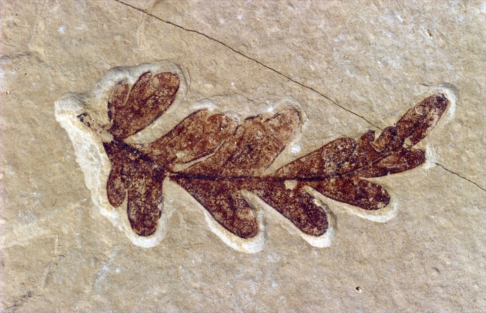 Fossil of leaf at Fossil Butte National Monument