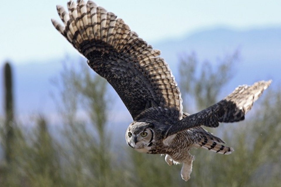 Great horned owl flying