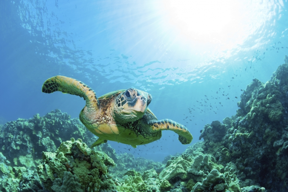 Green turtle swimming in the ocean