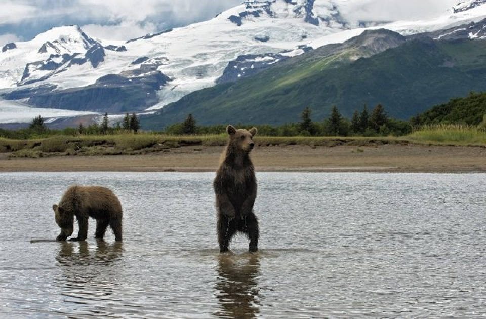 Two brown bears in lake