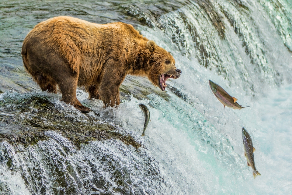 A brown bear stands its mouth open, reaching for jumping salmon at Katmai National Park and Preserve
