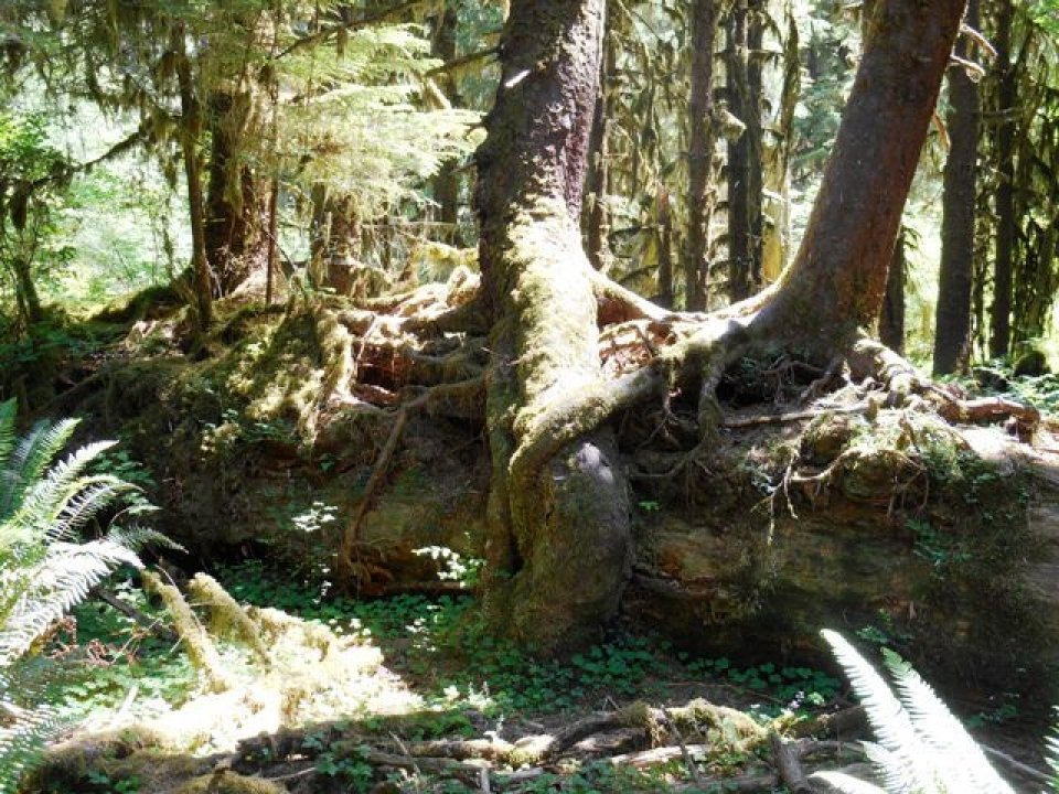 Trees on the Hoh river trail