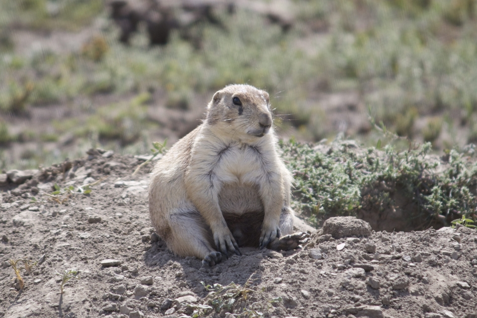 Chubby prairie dog sitting on its rear at Theodore Roosevelt National Park