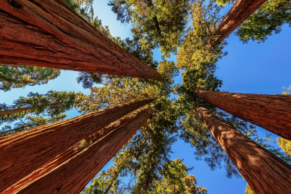 looking upwards at giant sequoia trees