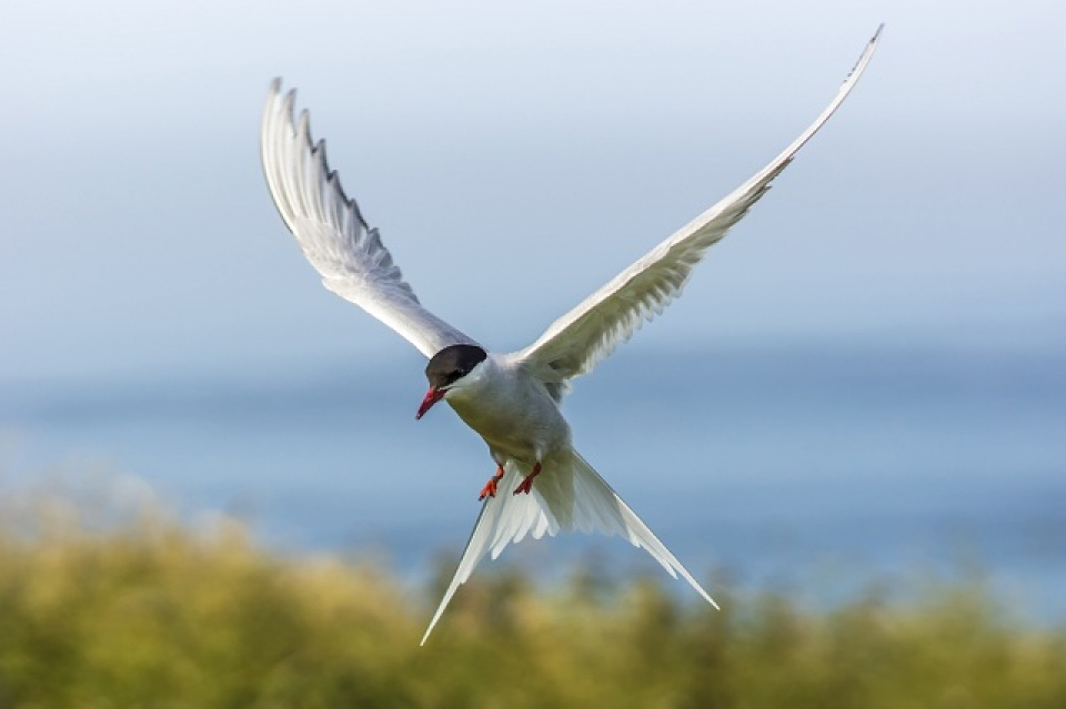 Tern bird flying
