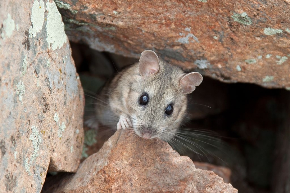 close-up image of the face of a white-throated woodrat at Alibates Flint Quarries National Monument