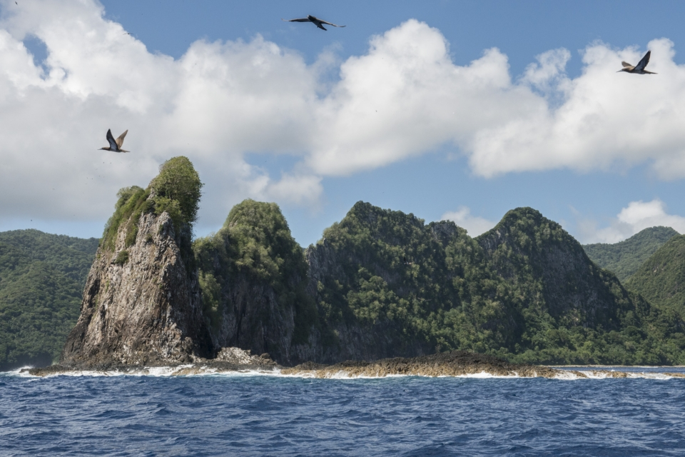 Red-footed boobies flying over the tree-covered rocky hills of Pola Island surrounded by blue ocean at the American Samoa