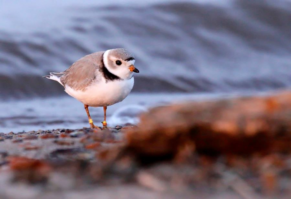 Small white and brown piping plover on the shore at Apostle Islands National Lakeshore
