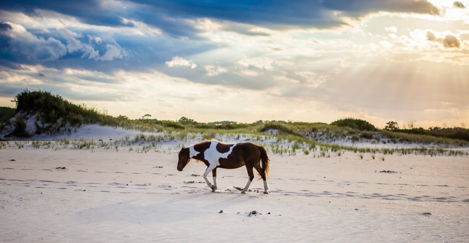 Brown and white horse walking on the white sandy beach of Assateague Island National Seashore under a cloudy sky