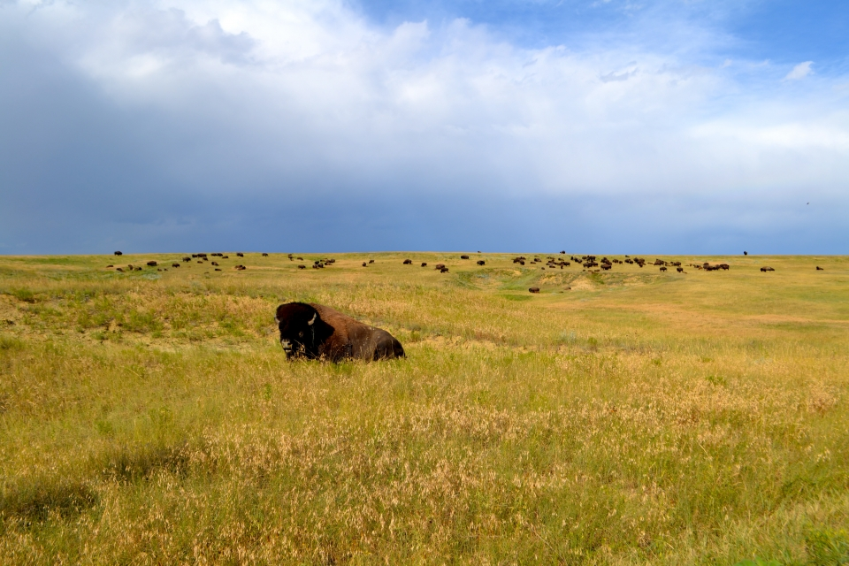 Bison lay in a yellow field at Badlands National Park