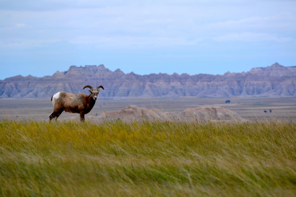 bighorn sheep stands in a field, mountains in the background