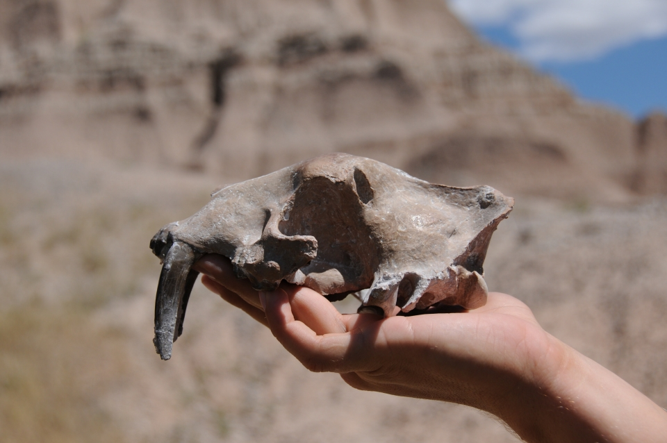 Fossil of a sabertooth cat skull found at Badlands National Park