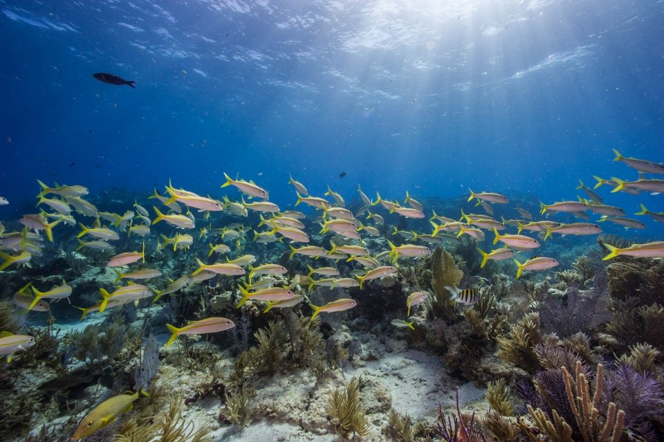 A school of yellow and silver fish in the coral reef