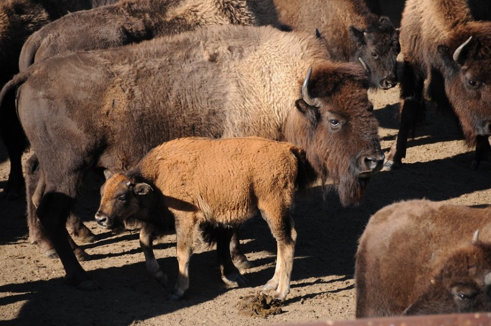 Bison with calf at Badlands National Park