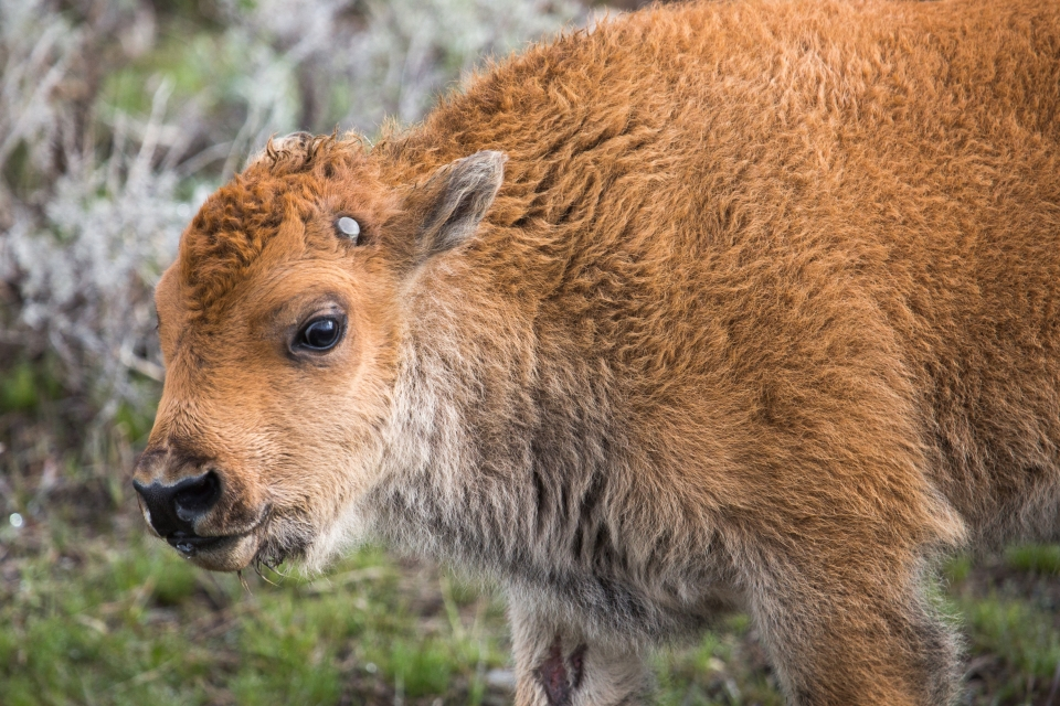 close-up of a bison calf at Yellowstone National Park