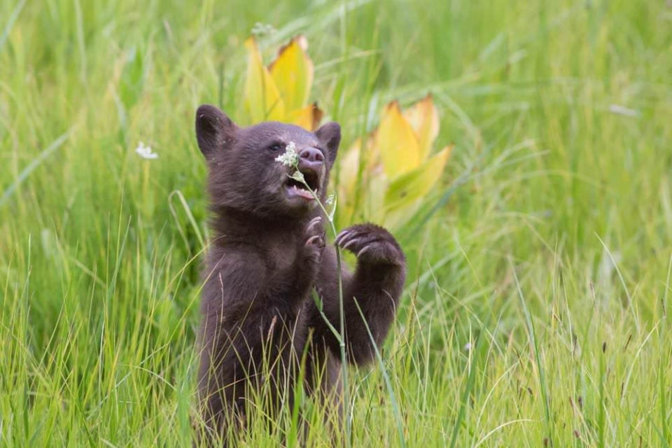 Black bear cub on its hind legs about to eat a tall flower at Sequoia and Kings Canyon