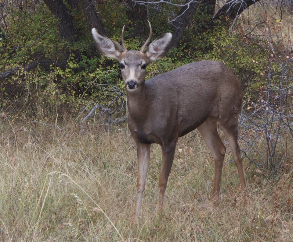 An antlered mule deer standing in tall grass at Black Canyon of the Gunnison National Park