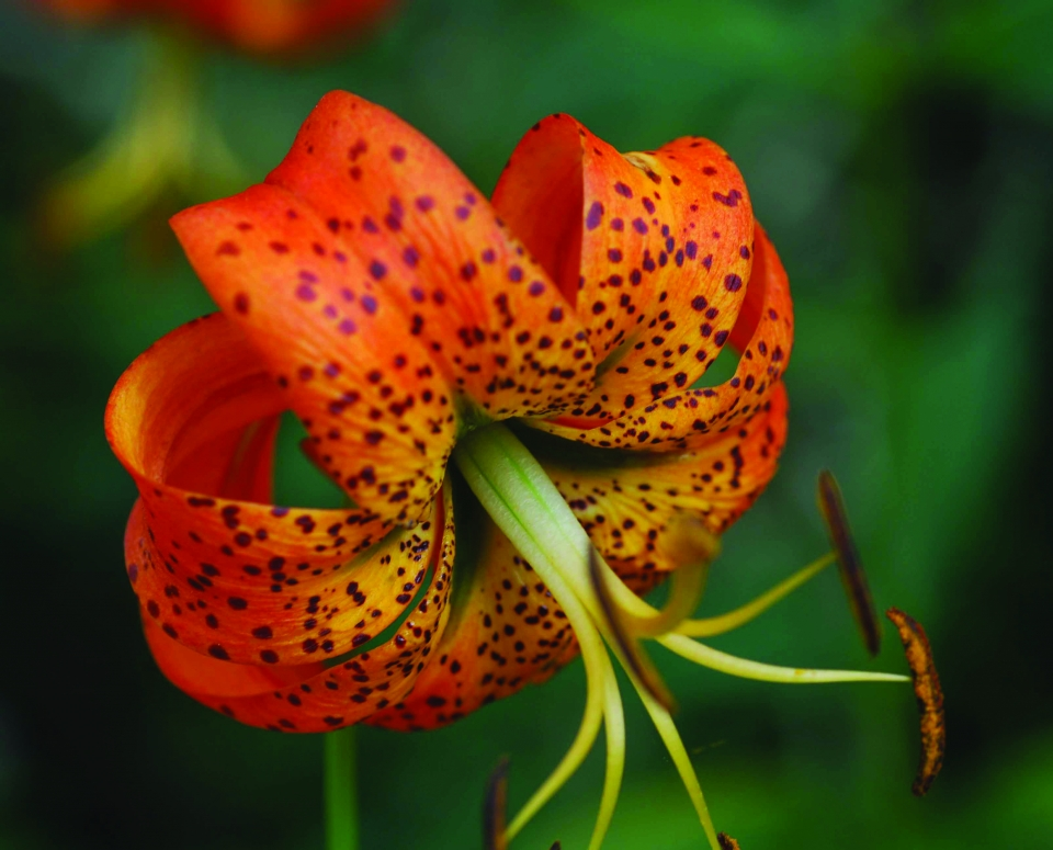 Turk's-cap lily in bloom