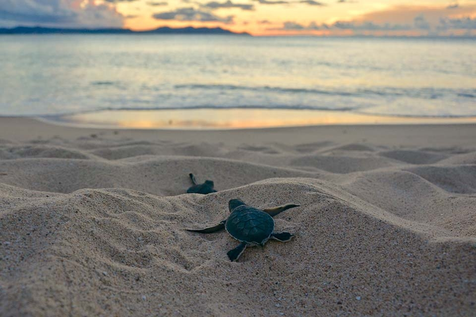 Two baby green sea turtle hatchlings in the sand crawling towards the sunset-lit ocean