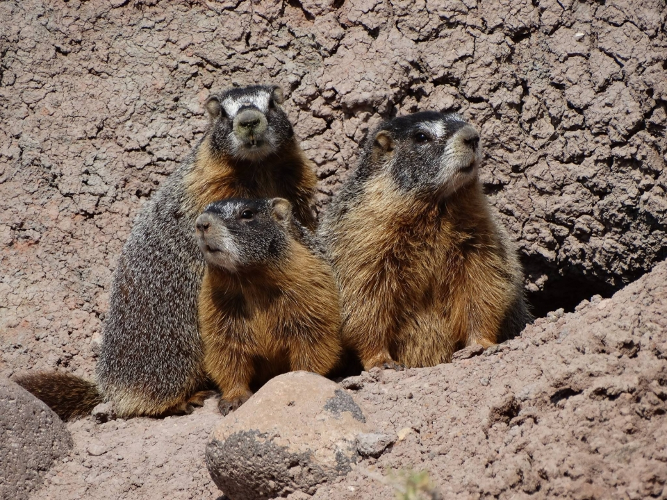 Three yellow-bellied marmots peek out from a stony burrows into the sun