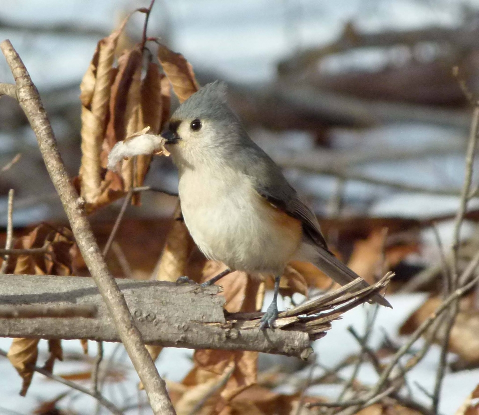 White and grey tufted titmouse on a branch with a leaf in its mouth