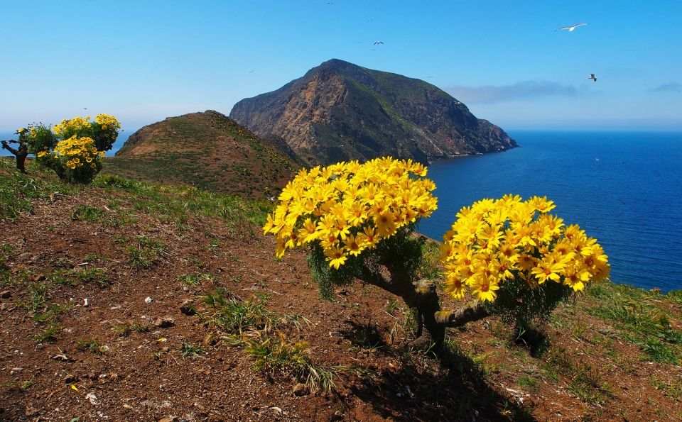 Bright yellow coreopsis flowers along the edge of the Middle Anacapa Island with deep blue waters surrounding the distant Channel Islands.